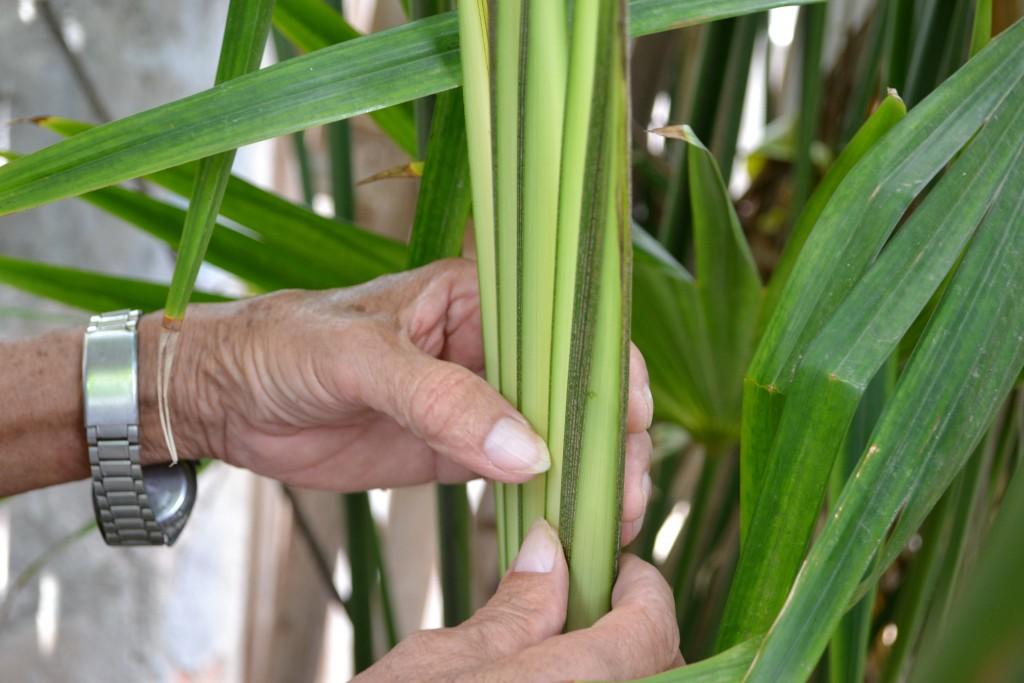 Toquilla-plant